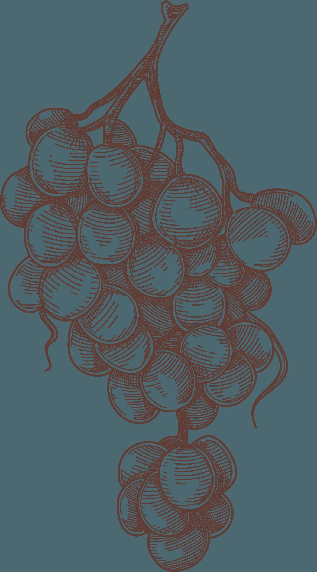 Illustrazione grappolo uva Nepos Villae
